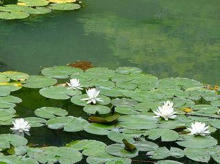 山田池公園のアジサイ