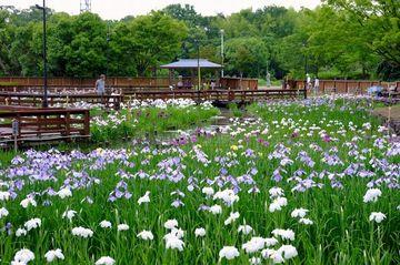 山田池公園の花菖蒲