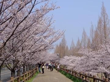 打上川治水緑地の桜1.jpg