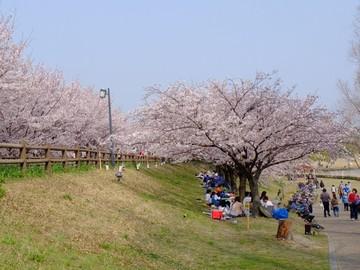 打上川治水緑地の桜3.jpg