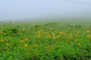 霧ヶ峰のニッコウキスゲ