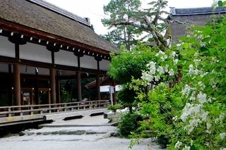 上賀茂神社の萩