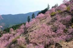 高見の郷の一目千本しだれ桜